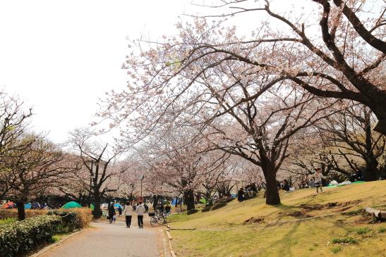 IMG_8326180331平塚総合公園の桜.JPG