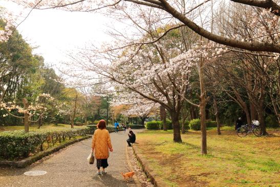 IMG_8348180331平塚総合公園の桜.JPG