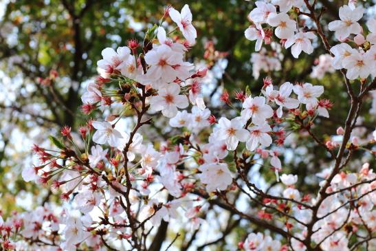 IMG_8349180331平塚総合公園の桜.JPG